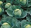 АТРИЯ F1  - семена капусты белокачанной среднепоздней, 2500 семян , Semenis