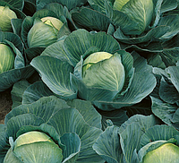 АТРИЯ F1  - семена капусты белокачанной среднепоздней, 2500 семян , Semenis, фото 1