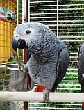 Жако пташенята (ручного докормления) 3,5 - 4 міс., фото 6