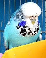 Выставочный волнистый попугай ЧЕХ.(UA 13), фото 1