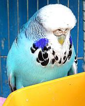 Виставковий хвилястий папуга ЧЕХ.