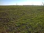 Добриво для зернових ячменю, вівса, проса, рису, жита, тритикале, пшениці Минералис, фото 3
