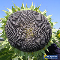 НСХ-6043 (Тиса) купить семена подсолнечника