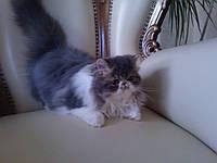 Кошечка котенок персидский голубая на белом
