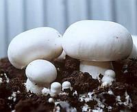 Мицелий (грибница) ШАМПИНЬОНА ДВУСПОРОГО БЕЛАЯ РАССА маточный зерновой биологически высушеный