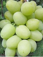 Саженцы винограда Дарья (ранний)