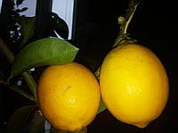 Лимон сорт Мейера 35-40 см.