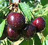 Жидкость для электронных сигарет со вкусом черной вишни