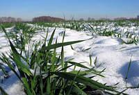 Пошук шляхів підвищення рівня загартованості озимих зернових культур до низьких температур в осінньо-зимовий період