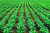 Використання водорозчинних сполук фосфору для передпосівної інкрустації насіння сої та позакореневого його підживлення