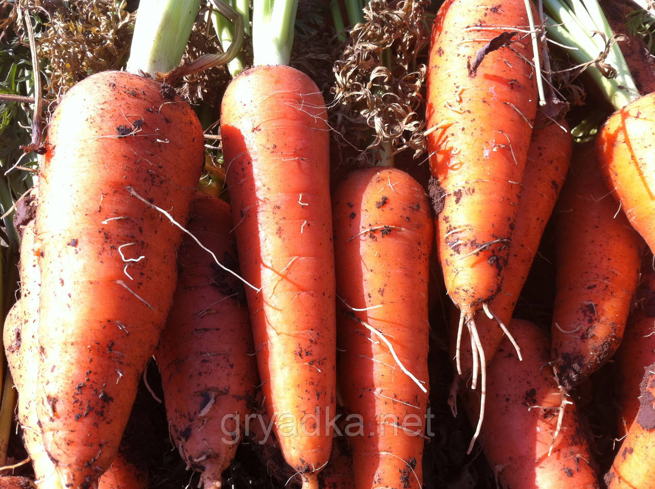 Морковь Абако F1 Seminis 1 млн семян (ǿ 2,0 и более)