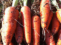 Морковь Абако F1 Seminis 1 млн семян (ǿ 2,0 и более), фото 1
