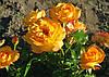 Роза Сахара. Шраб.