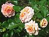 Роза Концерто 94.  Полуплетистая роза.