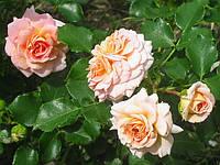 Роза Концерто 94. (в) Полуплетистая роза.