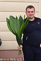 Зелень аспедистра 70 см