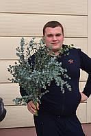 Оптовая продажа цветов, Eucalyptus Cinerea, эвкалипт вес 400 гр