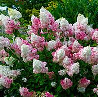 Гортензия метельчатая Ваниль Фрайз / Hydrangea paniculata  Vanille Fraise 3л 2-3 года