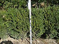 Самшит вечнозеленый 50-60см. Саженцы с комом земли