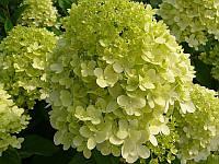 Гортензия метельчатая Лаймлайт / Hydrangea paniculata Limelight