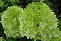 Гортензия метельчатая Литтл Лайм / Hydrangea paniculata Little Lime, Jane 3л 2-3 года