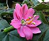 Пассифлора mollissima- банановая маракуя