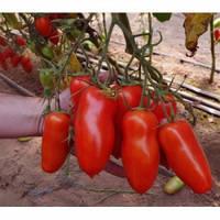 Семена томата Айдар F1,  Clause (Франция), упаковка 250 семян