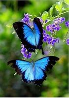 Алмазная вышивка Две бабочки-парусник KLN 20 х 26 см (арт. FS046)