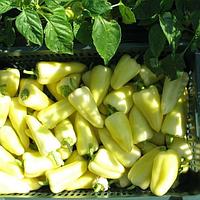 ДИМЕНТИО F1 - семена перца сладкого, 500 семян, Syngenta, фото 1