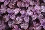 Насіння Базиліка сорт Фіолетовий 1кг