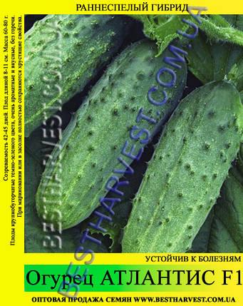 Семена огурца Атлантис F1 0,5кг, фото 2