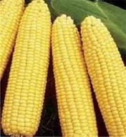 "Семена кукурузы ""Оржиця 237 МВ"" (ФАО 230)"
