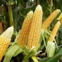 """Семена кукурузы """"Любава 279 МВ"""" (ФАО 270)"""