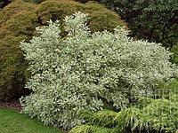 Дерен белый Элегантиссима / Cornus alba Elegantissima