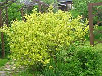 Дерен белый Гоучалти / Cornus alba Gouchaultii