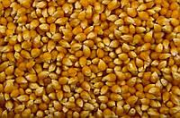 Кукуруза POP-CORN