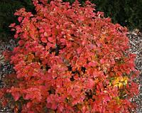 Спирея березолистная Тор Голд / Spiraea betulifolia Tor Gold