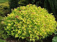Спирея японская Голдмаунд / Spiraea japonica Goldmound