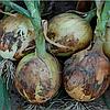 ДЕРБИ F1 - семена лука репчатого, 250 000 семян, Bejo Zaden