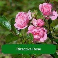 Rizactive Rose - розовый экстракт на рисовом молочке, 10 мл/ 1 л
