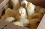 """На заметку птицеводам:""""Обогрев брудера для цыплят, утят, индюшат, ... (необходимое тепло для выращивания молодняка птицы)"""""""