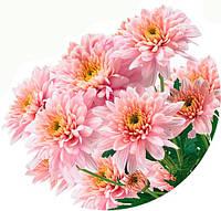 Корейская хризантема черенок