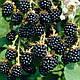 ЕЖЕВИКА (BLACKBERRY BUSH Fruit Berry Rubus), фото 2