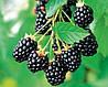 ЕЖЕВИКА (BLACKBERRY BUSH Fruit Berry Rubus), фото 3
