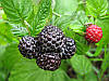 МАЛИНА ЧЕРНАЯ (BLACK RASPBERRY Rubus)