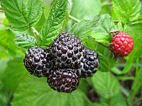 МАЛИНА ЧЕРНАЯ (BLACK RASPBERRY Rubus), фото 1