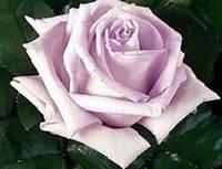 Роза чайно-гибридная Пацифик Блу