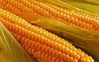 Стратегія збереження та ефективного використання вологи в технології вирощування кукурудзи
