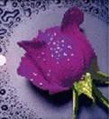 Набор алмазной вышивки Фиолетовая роза 22 х 22 см (арт. PR064) частичная выкладка, фото 1