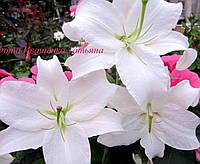 Лилия Каса Бланка (Casa Blanca) Огромные цветы
